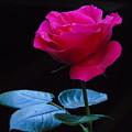 A Very Special Rose by Silvana Miroslava Albano