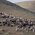 A View Of Sheep In The Judean Desert by Richard Nowitz