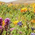 A Walk Though The Poppy Fields by Rebecca Dru