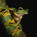 A Wallaces Flying Frog by Tim Laman
