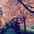 A Way Under The Cherry Blossom by Ryota Takahashi