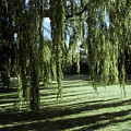 A Weeping Willow Casts Long, Cool by Jason Edwards