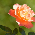 A Well Lighted Rose by AJ Schibig
