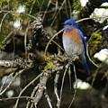 A Western Bluebird In A Tree by Ben Upham III