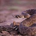 A Western Diamondback Rattlesnake by Joel Sartore