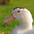A White Duck, Side View by Ofer Zilberstein