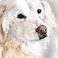 A White Golden Retriever by Lois Ivancin Tavaf