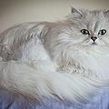 A White Persian Chinchilla Cat by Carlos Davila