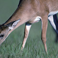 A White-tail Deer Munches On Some Green by Joel Sartore