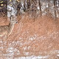 A White-tailed Deer In A Snow Storm by Jeramey Lende
