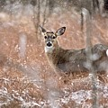 A White-tailed Deer In The Snow by Jeramey Lende