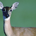 A White-tailed Deer On The Prairie by Joel Sartore