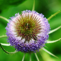 A Wild And Prickly Teasel by Debbie Oppermann