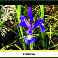 A Wild Iris by Joseph Coulombe