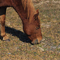 A Wild Pony In Assateague by Stacy Gold