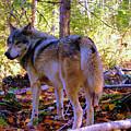 A Wolf Gazes Back by Jeff Swan