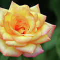 A Yellow Rose by Sabrina L Ryan