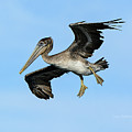 A Young Brown Pelican Flying by Susan Wiedmann