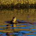 A Young Duckling by Jeff Swan