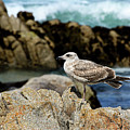 A Young Western Gull At Pacific Grove by Susan Wiedmann