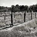 Abandoned Dried Old Vineyard by Amy Delaine