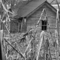 Abandoned Farmhouse Through Cornfield by Douglas Barnett