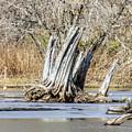 Aboriginal Stumps by William Tasker