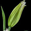 White Oriental Lily About To Bloom by David Perry Lawrence
