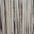 Abstract Aspen Tree Trunks by Susan Westervelt