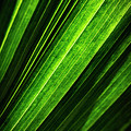 Abstract Of Green Leaf Of Exotic Palm Tree by Jozef Jankola