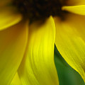 Abstract Sunflower by Juergen Roth