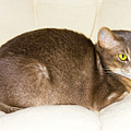 Abyssinian Cat On Chair Pillow, Symbol Of Comfort by Tetyana Ustenko
