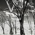 Acacia Tones by Vicki Jauron