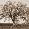 Acacia Tree In Sepia by Carol Groenen