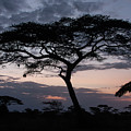 Acacia Trees Sunset by Chris Scroggins