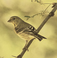 Acacia With Lesser Goldfinch Des by Theo O'Connor