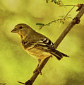 Acacia With Lesser Goldfinch Txt by Theo O'Connor