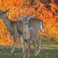 Acadia Deer by Darren White