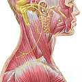 Accessory Nerve View Showing Neck by Stocktrek Images