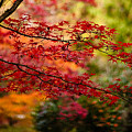 Acer Colors by Mike Reid