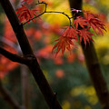 Acer Finish by Mike Reid