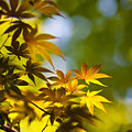Acer Glow by Mike Reid