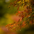 Acer Jewels by Mike Reid