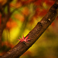 Acer Resting by Mike Reid