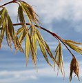Acer by Richard Brookes