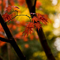 Acer Silhouette by Mike Reid