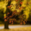 Acers Turning by Mike Reid