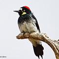 Acorn Woodpecker by Bob Zeller