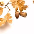 Acorns And Oak Leaves by Utah Images