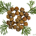 Acorns With Cedar by Lise Winne